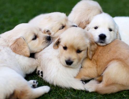 Urođene anomalije kod štenaca